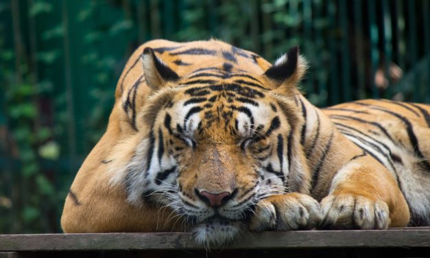 The Parable of the Sleeping Tiger