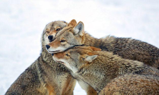 Allamakee County Chronicles I:  Coyotes