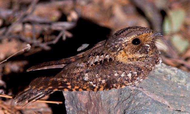 Allamakee County Chronicles II – Hoot Owls